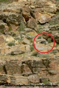 Aust Shep playing Mtn Goat